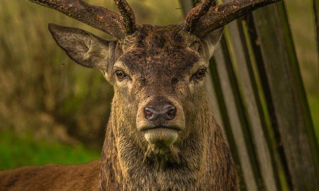 Corvelva studija, treći dio: jeleni i greške